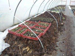 """Je travaille sans chauffage, je démarre mes plants en fevrier sur une """"couche chaude"""" de fumier"""